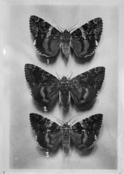 papillons de la collection Georges Durand